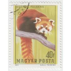 Красная панда. 1977 г.