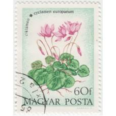 Цветы. Цикламен эуропеум. 1973 г.