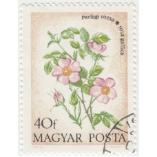 Цветы. Роза Галлика. 1973 г.
