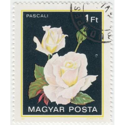 Цветы. Роза Pascali. 1982 г.